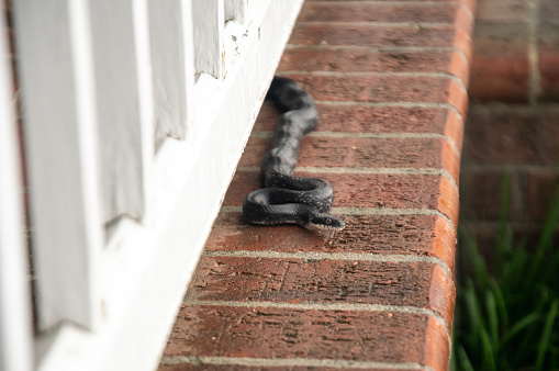 A black snake slithering into the backyard on the side of the house.