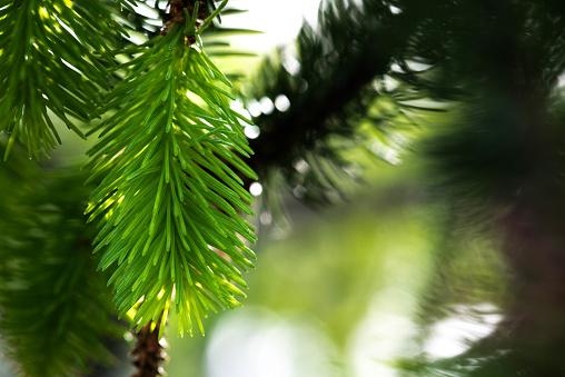 Snake spruce