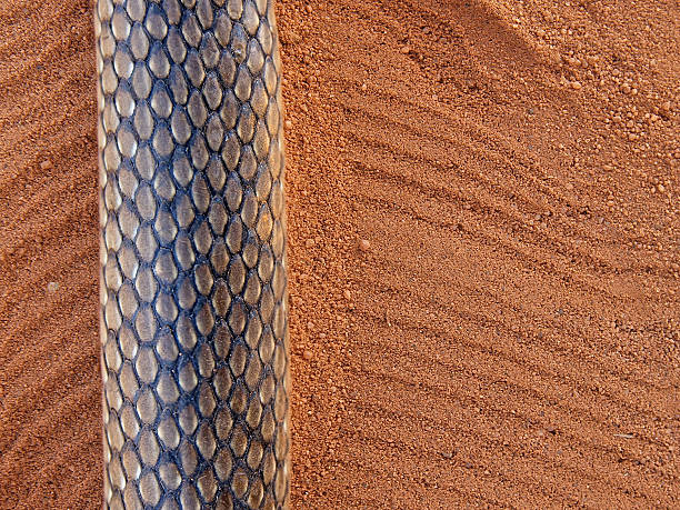 Snake Tracks In The Sand Stock Photo - Download Image Now