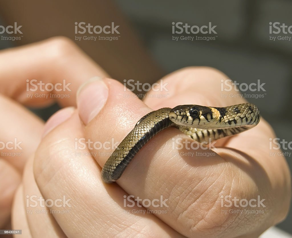 snake twined about a human hand royalty-free stock photo