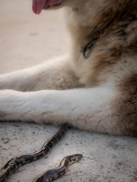 serpent a été mordu par le chien est mort - reptile photos et images de collection