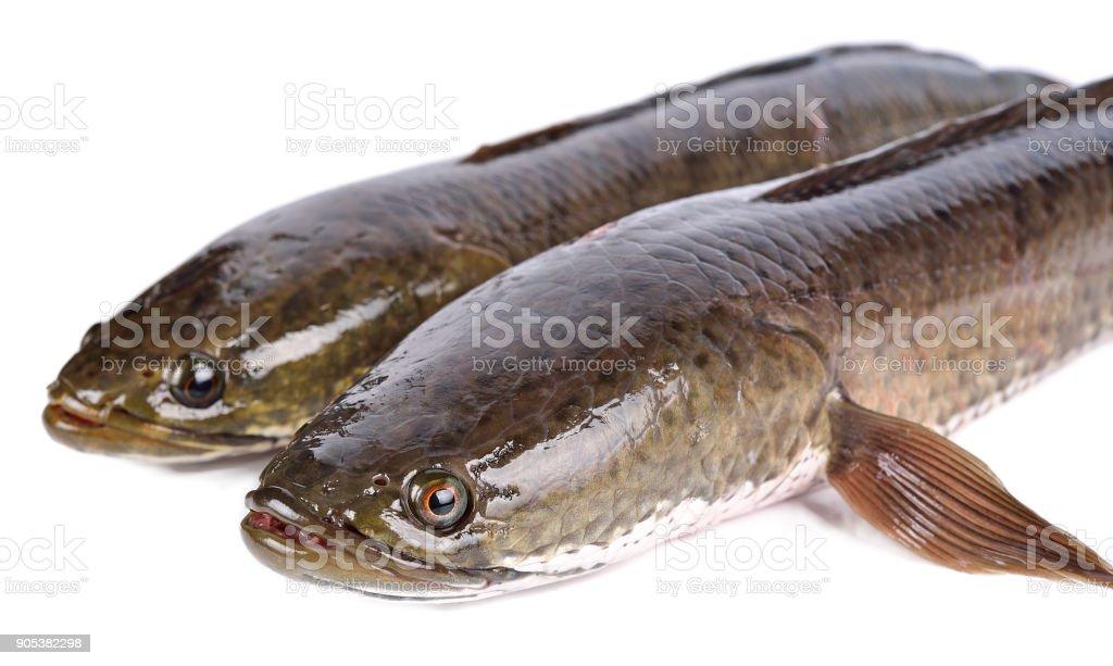 Fish Snakehead Fish Anatomy Diagram - Circuit Connection Diagram •
