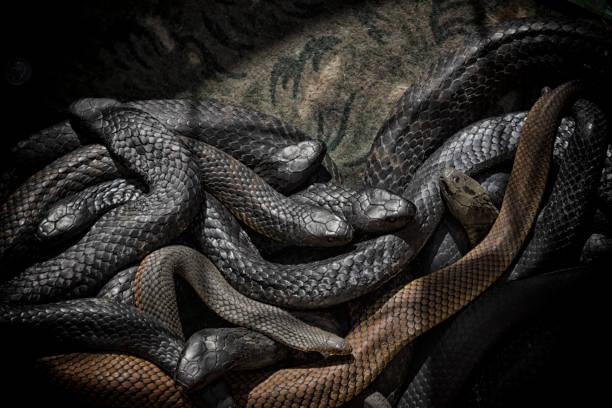 schlangen lebendig - schwarze schlange stock-fotos und bilder
