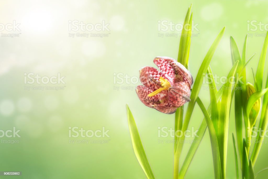 snake's head fritillary (Fritillaria meleagris) or chequered daffodil, flower and leaves against agreen spring background with blurry bokeh lights, copy space, greeting card stock photo