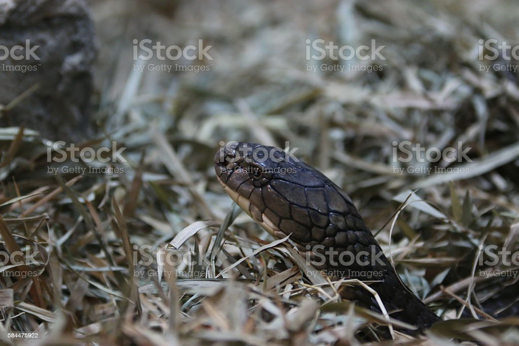 Snakes in the grass stock photo