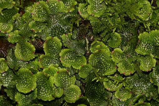 Snakeskin liverwort (Conocephalum salebrosum) on rock in stream. Liverworts are primitive nonvascular wetland plants (not mosses). Their name comes from their liver-like lobes, and the old belief that they cured liver disease. According to Encyclopedia Britannica,
