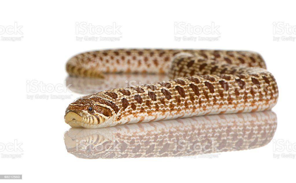 SnakeSnake - HETERODON NASICUS royalty-free stock photo