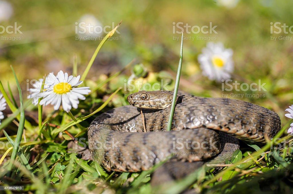 Snake,viper stock photo