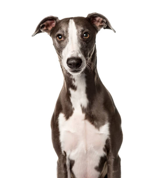 Snap dog sitting , isolated on white Snap dog sitting , isolated on white whippet stock pictures, royalty-free photos & images