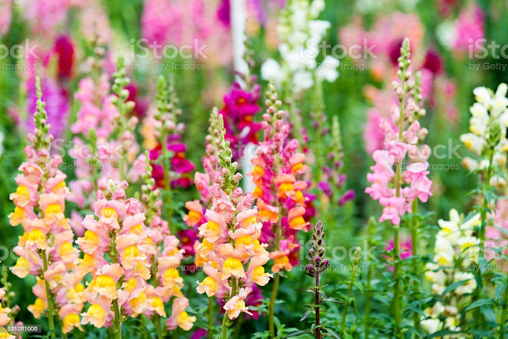 Snapdragon flowers in a garden stock photo