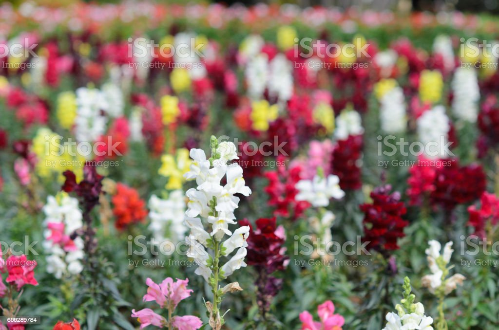 Snapdragon, Scrophulariaceae, colorful flowers in garden stock photo