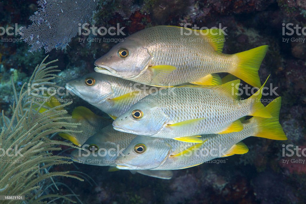 Snappers stock photo
