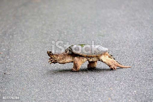 A large Refuge, August, Maryland, animals, wildlife, reptile, turtle, common snapping turtle, Chelydra serpentina, crosses the road. Why? you may ask, dunno myself