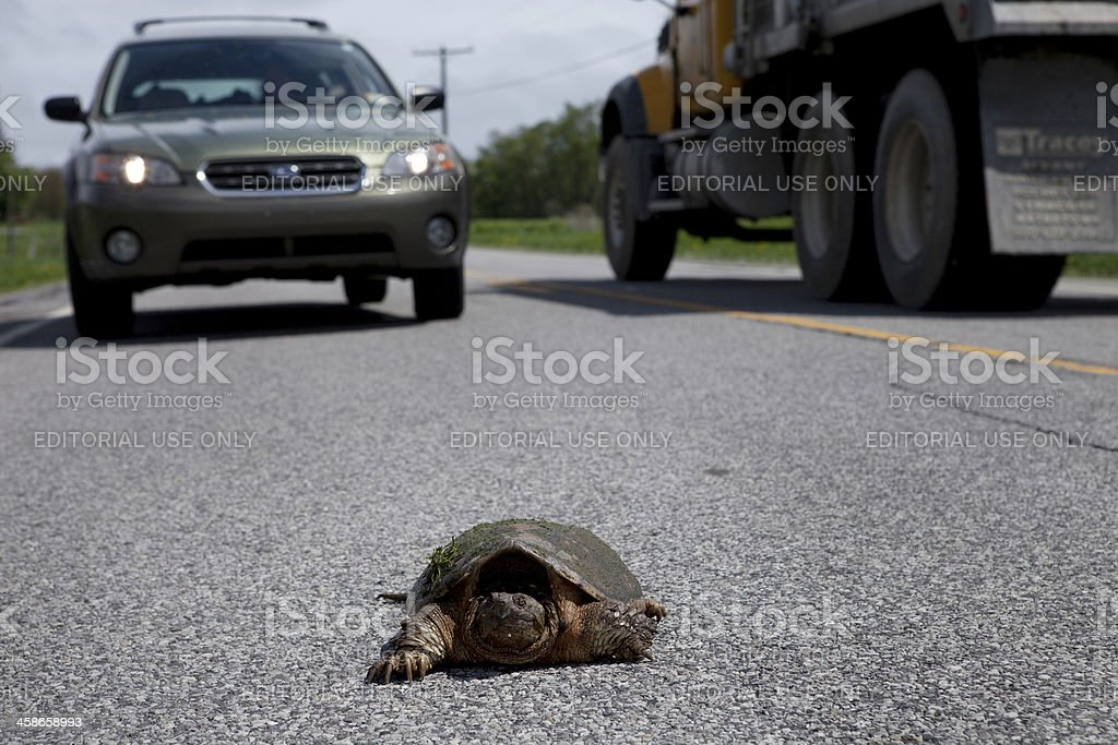 Snapping Turtle Crossing the Road stock photo