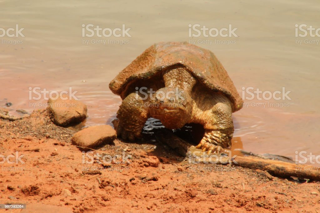 Snapping Turtle Emerging From Lake Stock Photo & More Pictures of