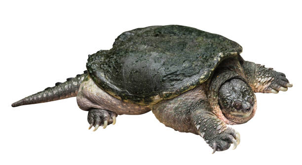 Snapping turtle ( Chelydra serpentina ) is creeping and raise one's head on white isolated background . Side view . stock photo