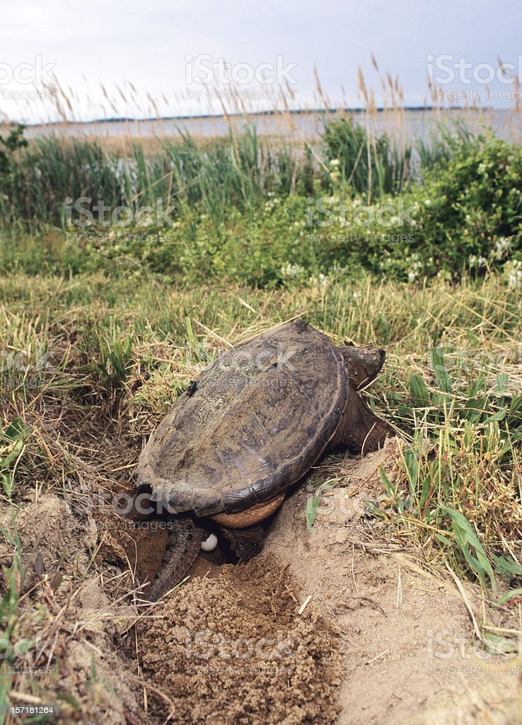Snapping Turtle royalty-free stock photo