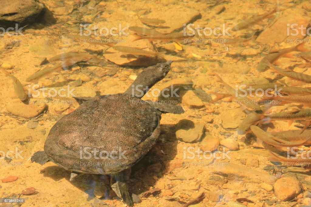 Snapping Turtle With Fish In River Stock Photo & More Pictures of Amphibian