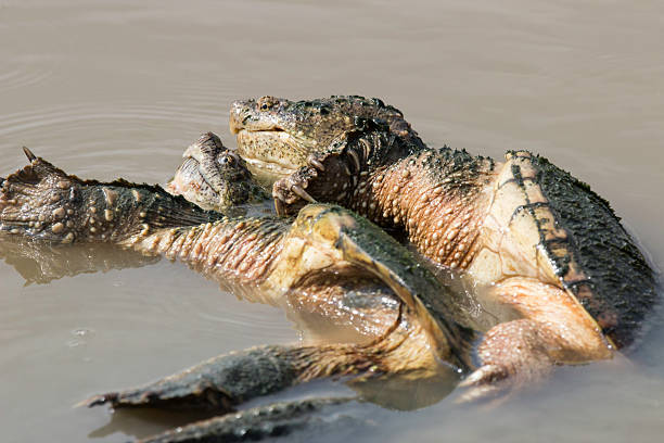 Best Turtles Mating Stock Photos, Pictures & Royalty-Free Images