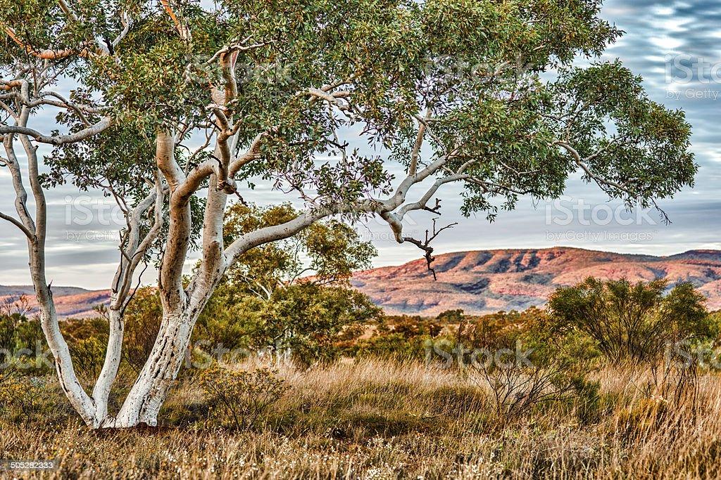 Snappy gum Eucalyptus leucophloia morning light Karijini outback Western Australia. stock photo
