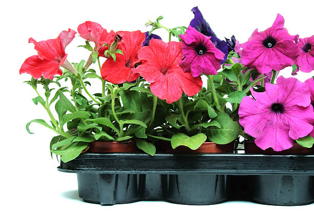 A snapshot of some beautiful, bright petunias in a gray stock photo