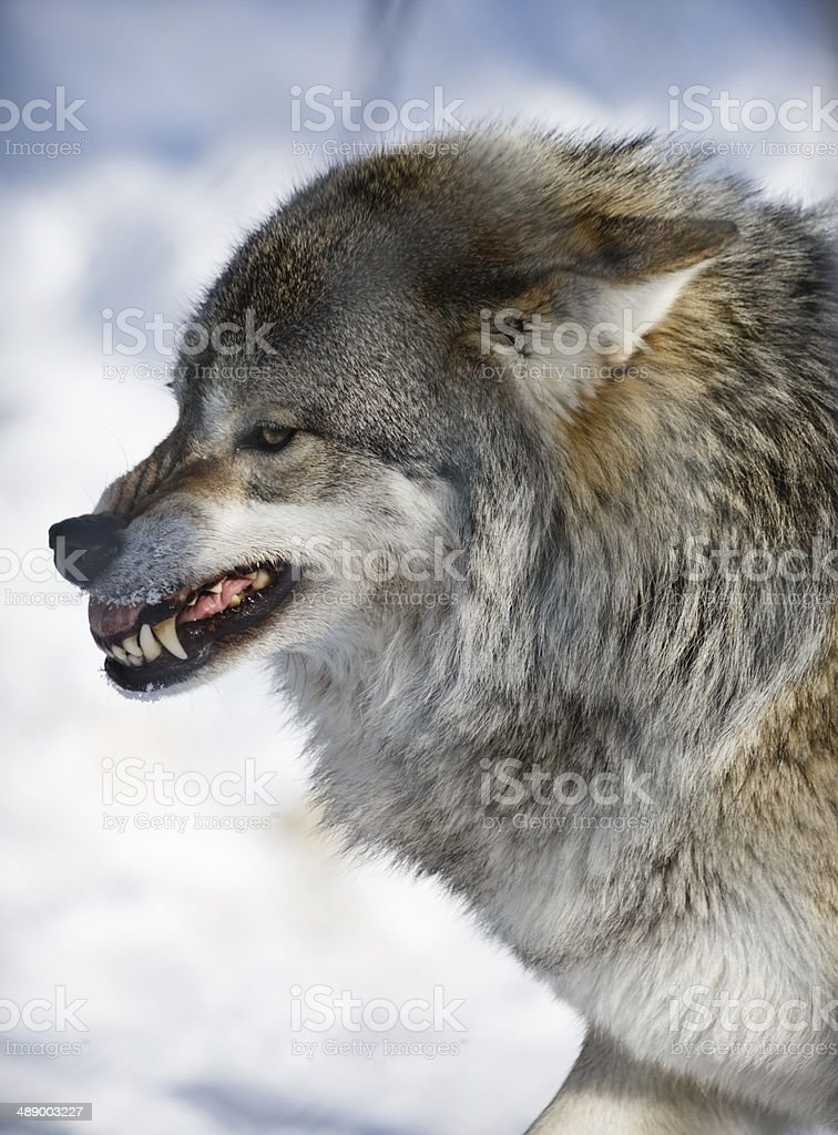 Snarling Arctic Wolf stock photo