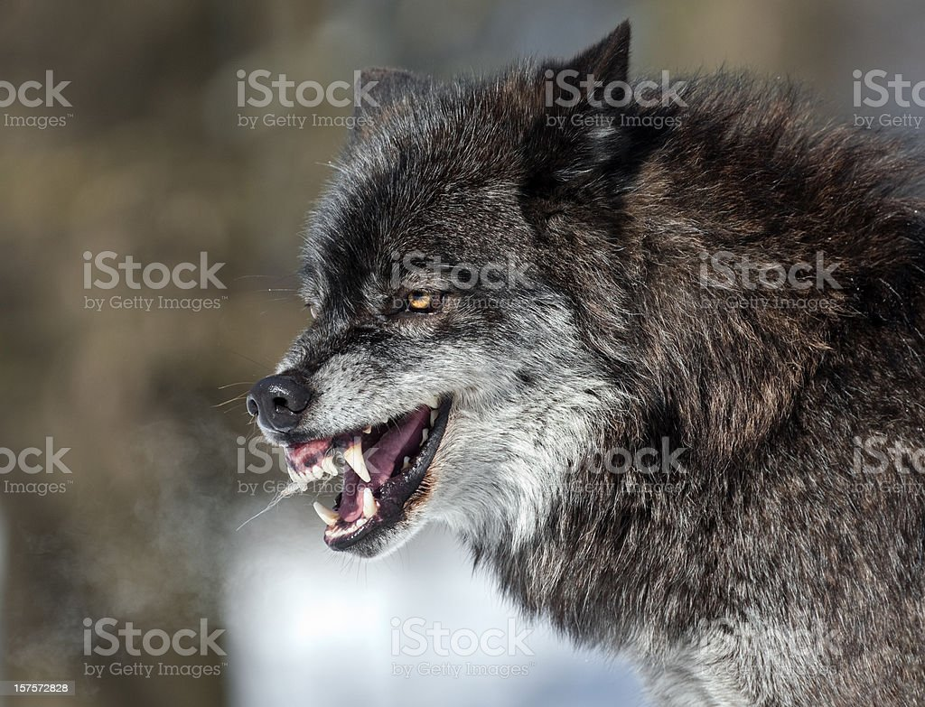Snarling Black Wolf stock photo