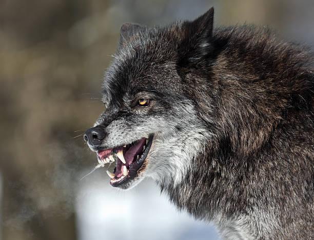 knurren schwarz wolf - wolf stock-fotos und bilder