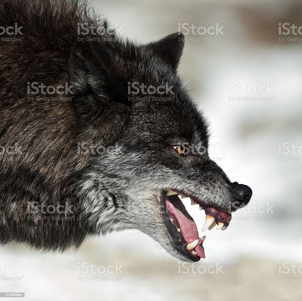 Snarling Black Wolf royalty-free stock photo