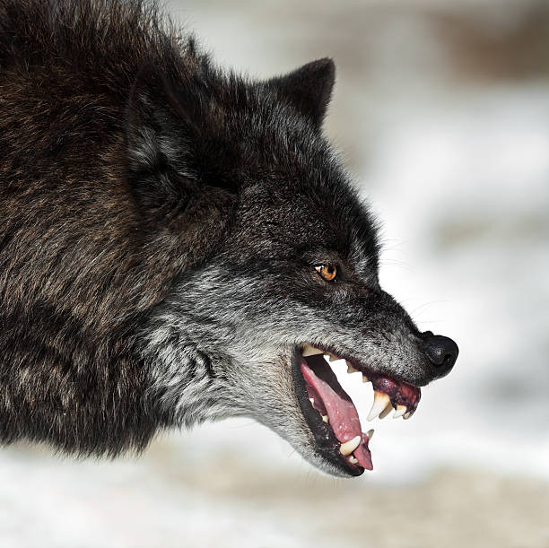 snarling black wolf - aggression stock photos and pictures