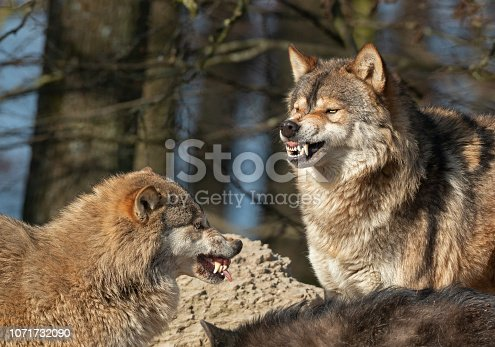 Portrait of two snarling canadian timberwolves.