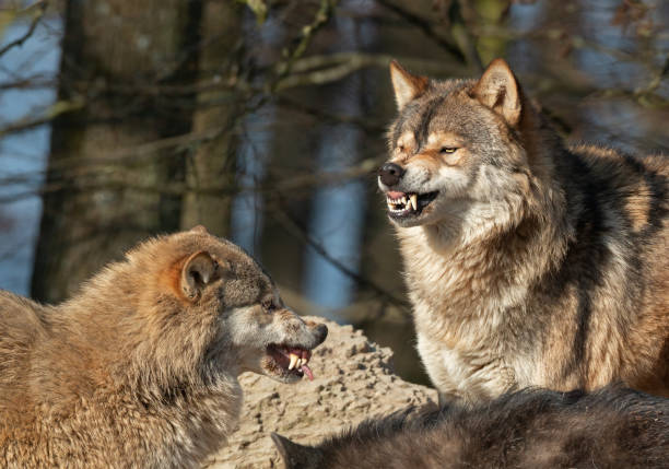 Snarling canadian timberwolves Portrait of two snarling canadian timberwolves. fang stock pictures, royalty-free photos & images