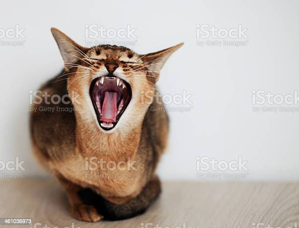 Snarling cat picture id461036973?b=1&k=6&m=461036973&s=612x612&h=umsayzngfapuuf1ctetsvlvthp 9pfywmbfhcf7m wa=