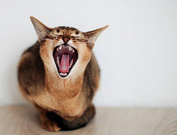 Snarling cat picture id461036973?b=1&k=6&m=461036973&s=612x612&w=0&h=jj6h ynpswlb8lkinw29azttcku9jqdglpqgvin9qv0=