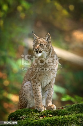 Snarling eurasian lynx sitting on a rock in front of a forest.