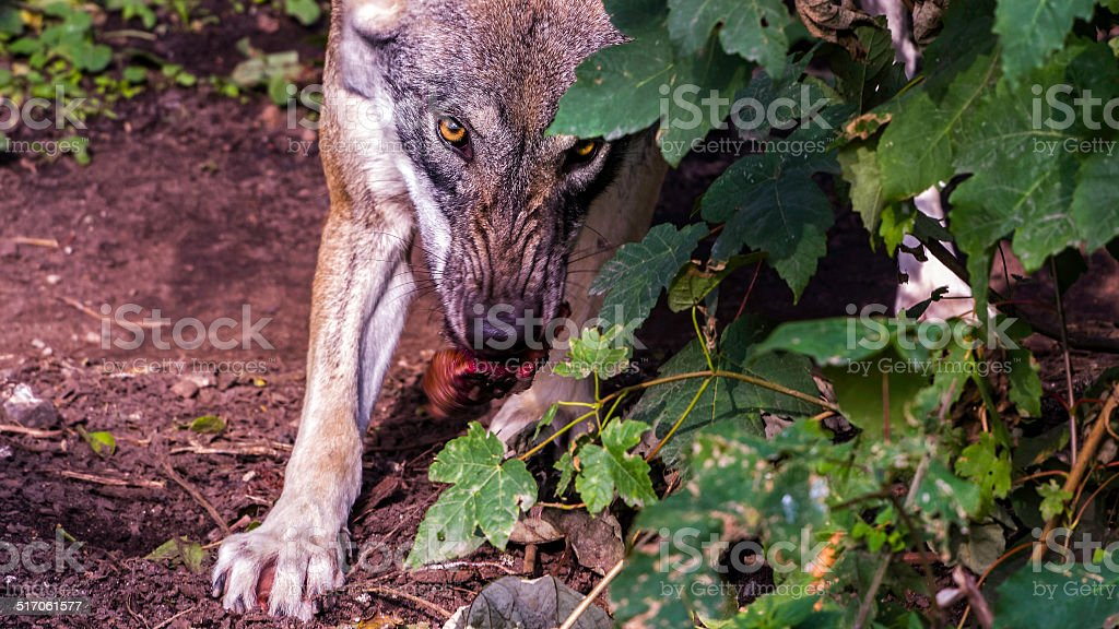 Snarling female wolf eating meat stock photo
