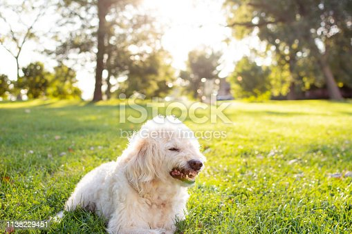 Grimacing Labradoodle dog because he has wood stuck in teeth but looks like growling. Sitting in a field of grass on a sunny day, depth of field.
