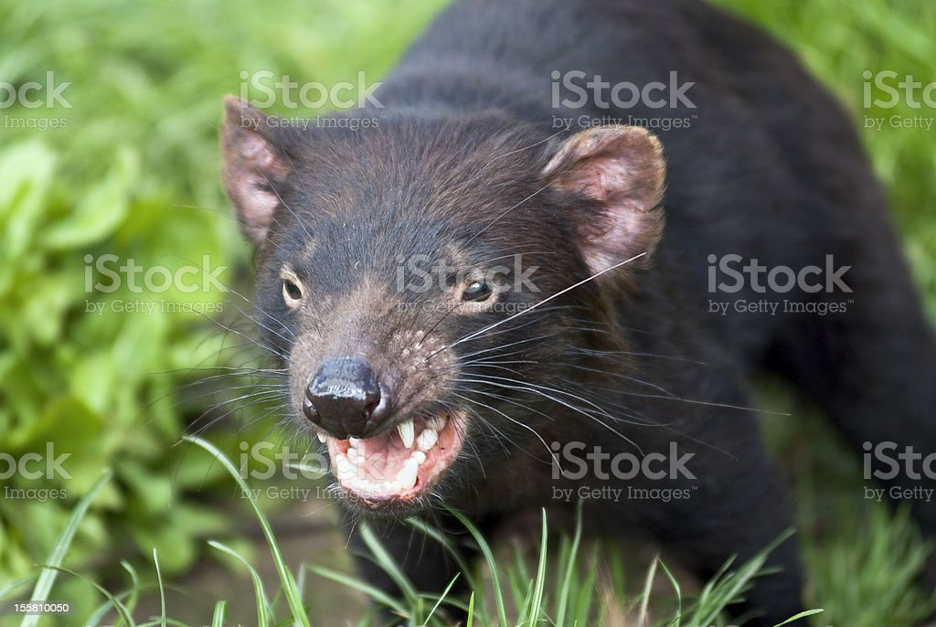 A snarling Tasmanian Devil about to attack outside The Tasmanian Devil is a carnivorous marsupial now found in the wild only in the Australian island state of Tasmania. The size of a small dog, but stocky and muscular, the Tasmanian Devil is now the largest carnivorous marsupial in the world after the extinction of the Thylacine in 1936. Aggression Stock Photo