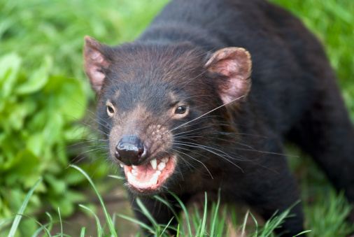 A Snarling Tasmanian Devil About To Attack Outside Stock Photo - Download Image Now