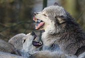 Eastern timber wolves snarling