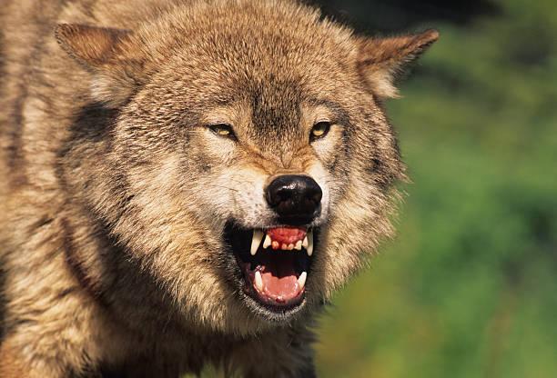 knurren wolf - knurren stock-fotos und bilder