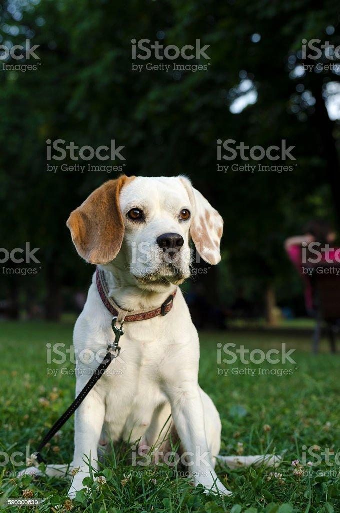 Sneaking female beagle in a park royaltyfri bildbanksbilder
