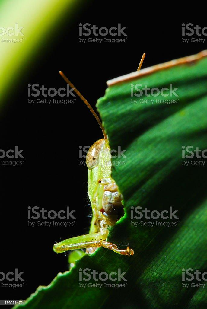 Sneaking Grasshopper royalty-free stock photo