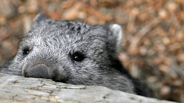 sneaky wombat looking over the fence - wombat stock photos and pictures