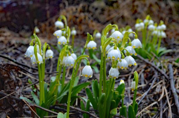 sniezyca wiosenna (leucojum vernum) - leucojum stock-fotos und bilder