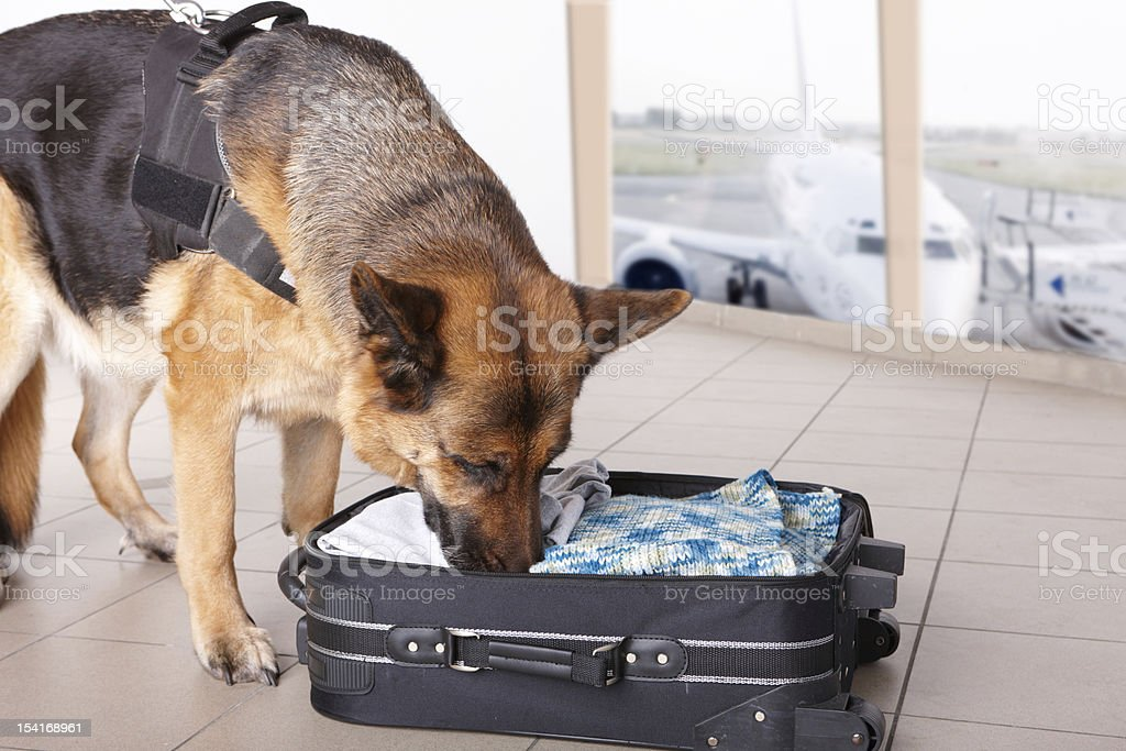 Sniffing dog at the airport stock photo