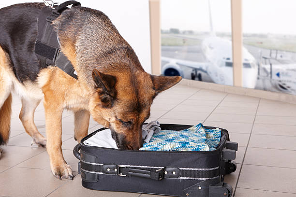 Sniffing dog at the airport Airport canine. Dog sniffs out drugs or bomb in a luggage. explosive stock pictures, royalty-free photos & images