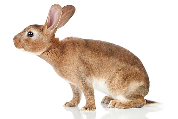 Sniffing Rabbit stock photo