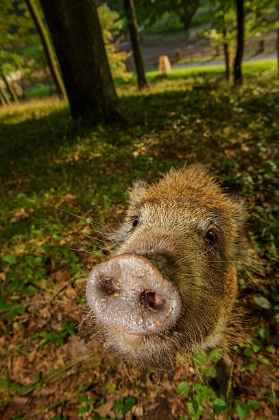 Sniffing wild boar snout from closeup in colorful forest stock photo