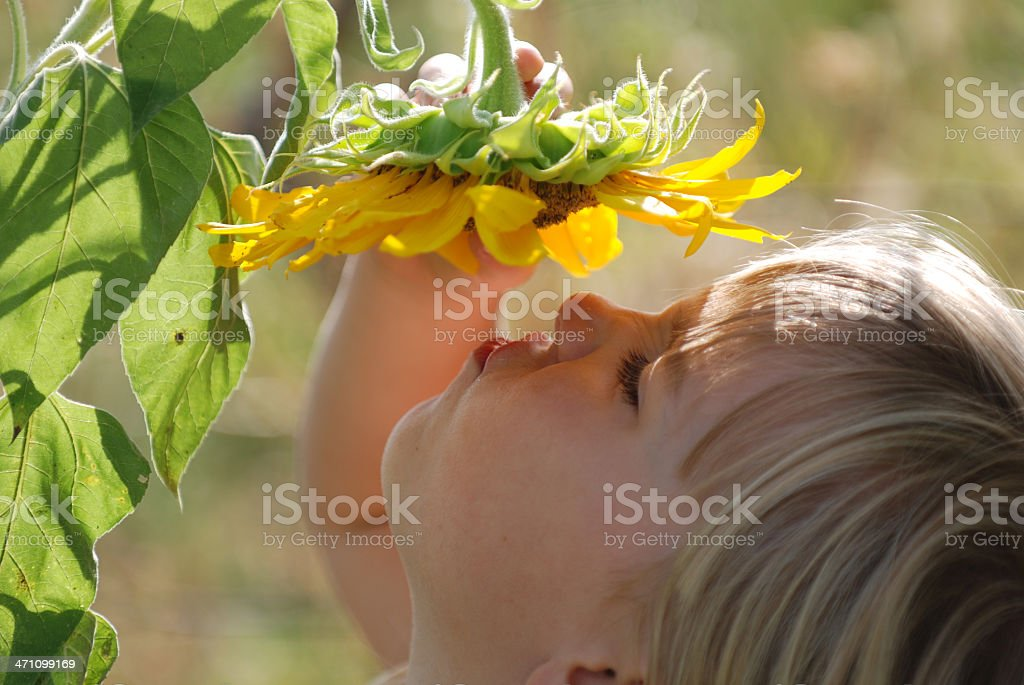 Snifing a Sunflower stock photo